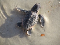 sea turtle (loggerhead) hatchling by P. C. Zick (2006)