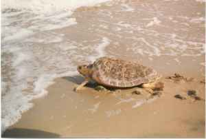 female loggerhead