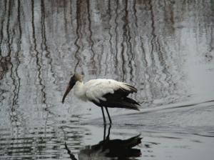 wood stork (Everglades)